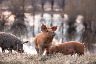 Three mangulista furry pigs