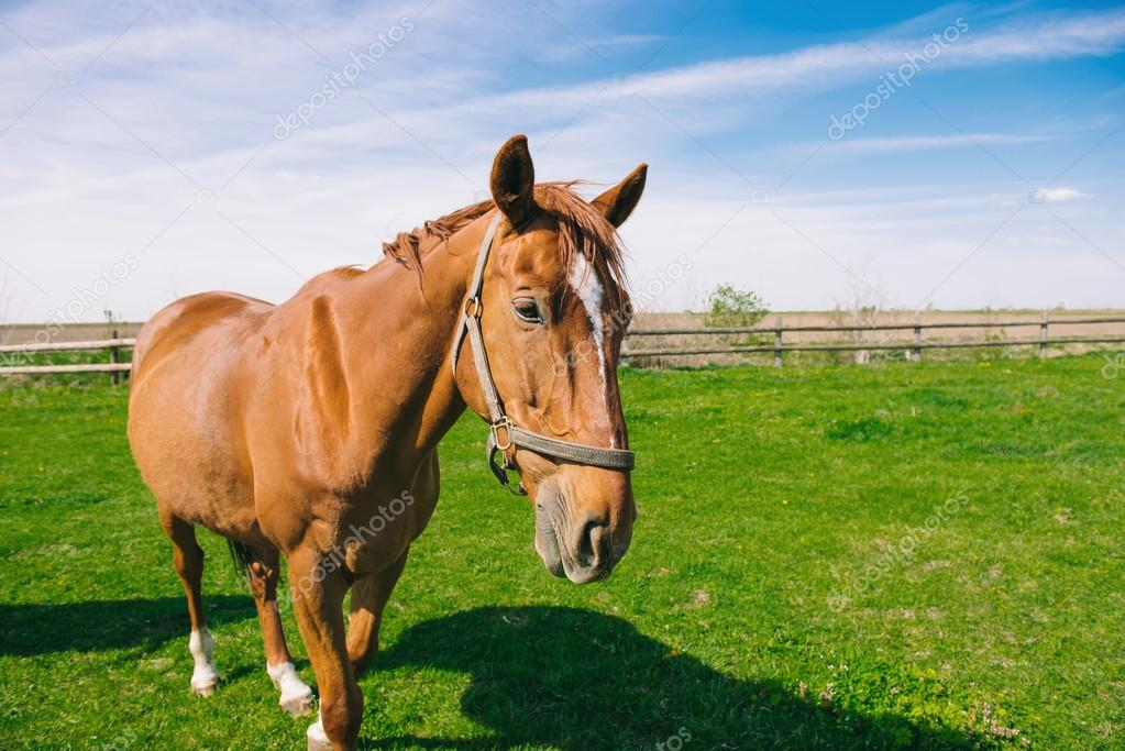 Brown domestic horse on the field