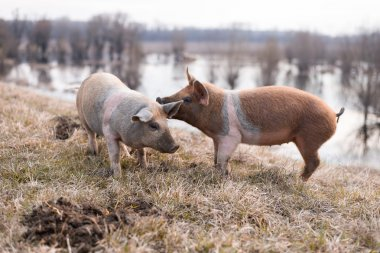 Two young mangulitsa pigs having fun