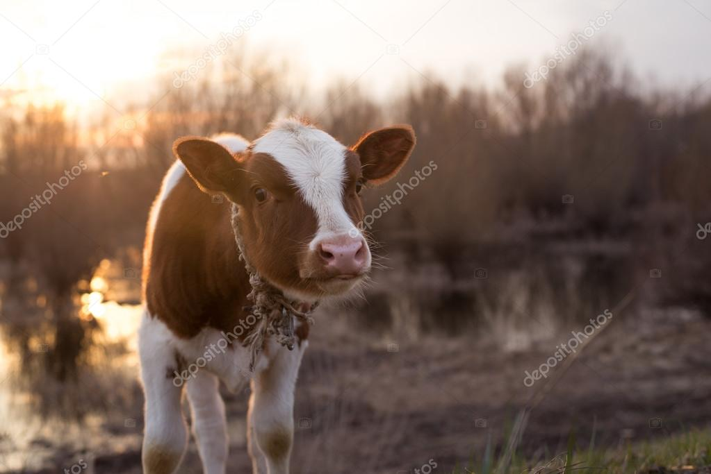 Calf cow standing on the field at sunset