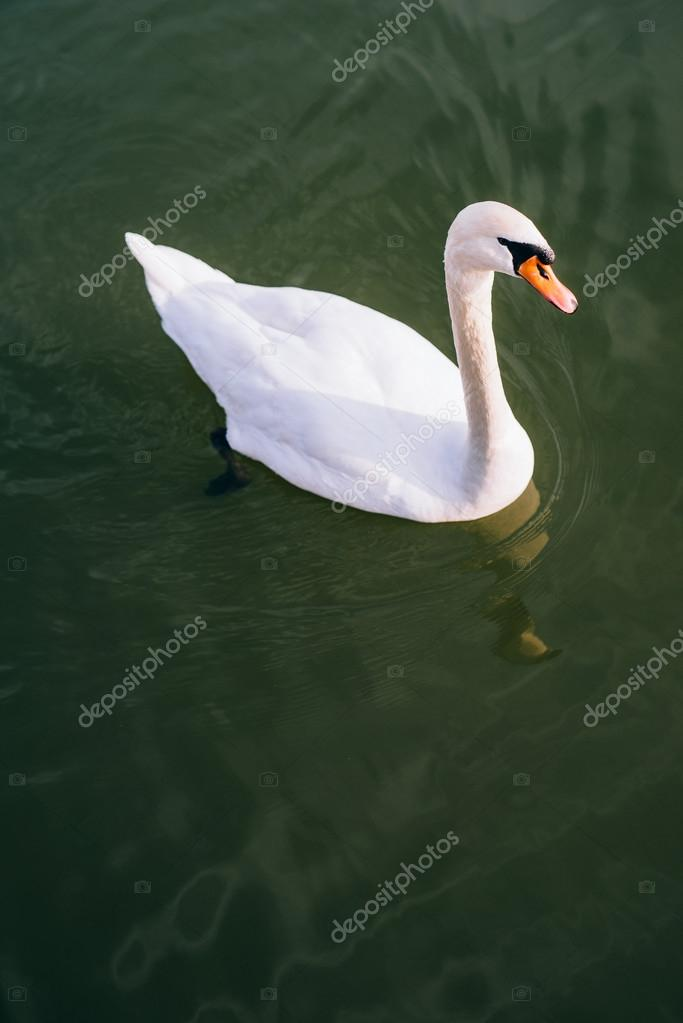 Graceful swans swimming