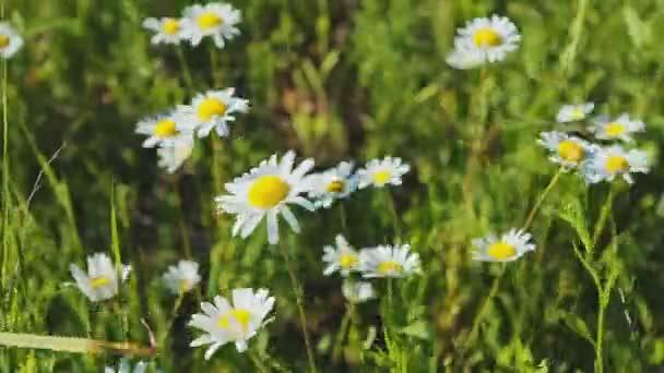 Pole květy sedmikrásky. Raw video záznam