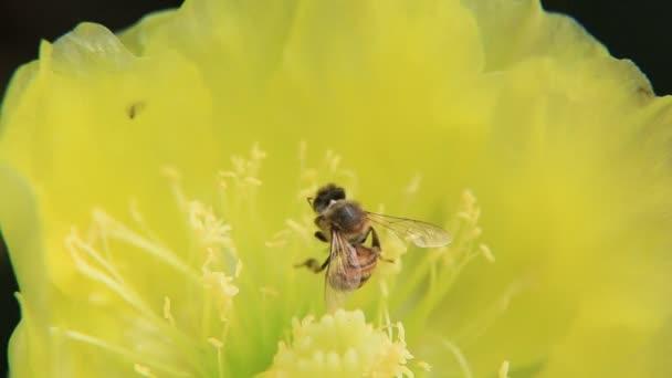 salvador, bahia, Brazílie - 11. ledna 2021: africký včelí hmyz sbírá nektar na kaktusovém květu v okolí Pituby ve městě Salvador.