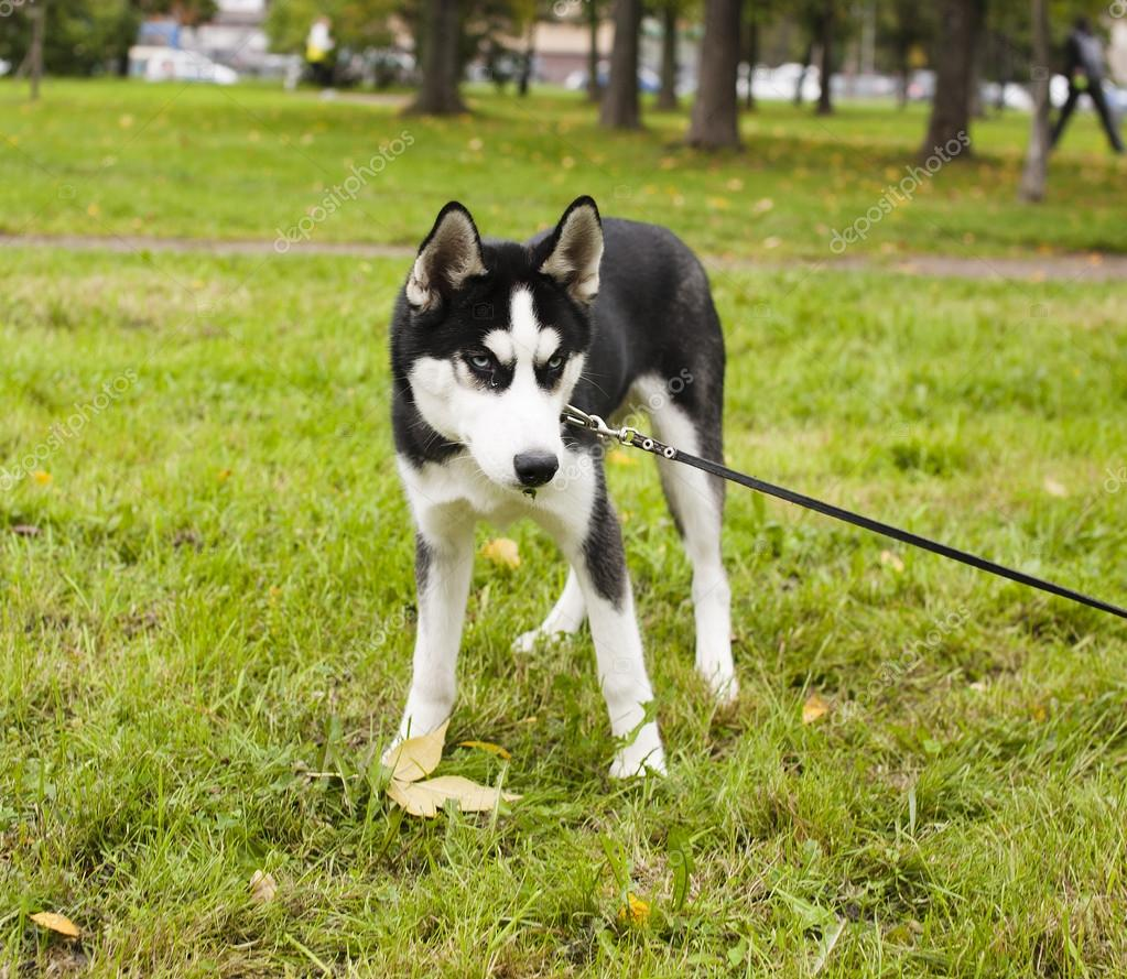 husky dog outside on a leash walking