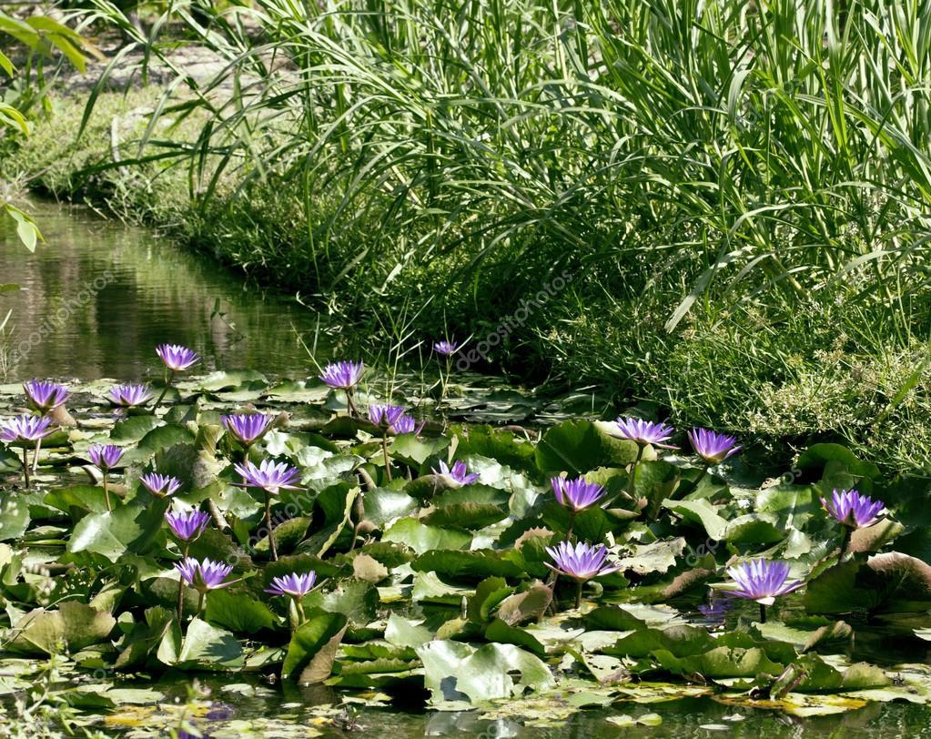 Real Lake With Lotus Flowers Stock Photo Iordani 116192032