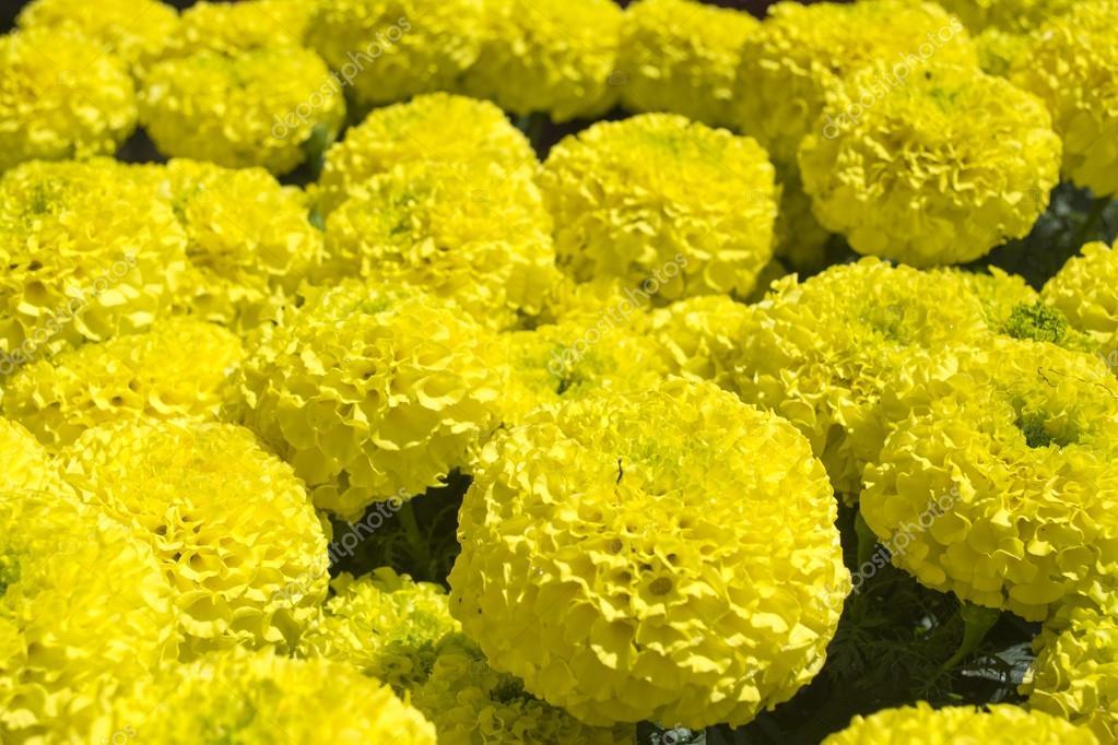Giant marigold flower  - Cempasuchil Flower