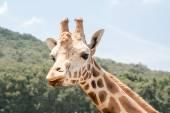 G0iraffe při pohledu na přední straně fotoaparátu