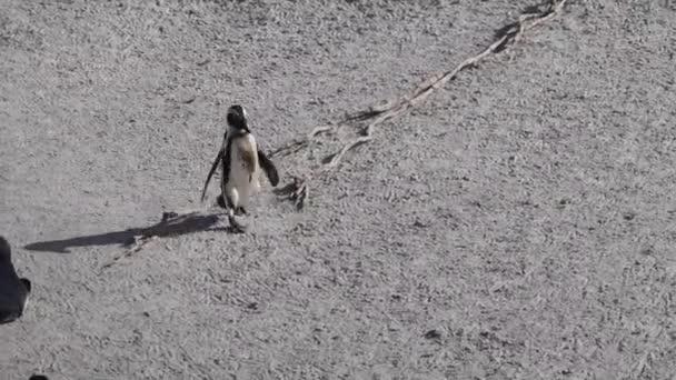 Afrikai pingvin waddling homokon a strandon