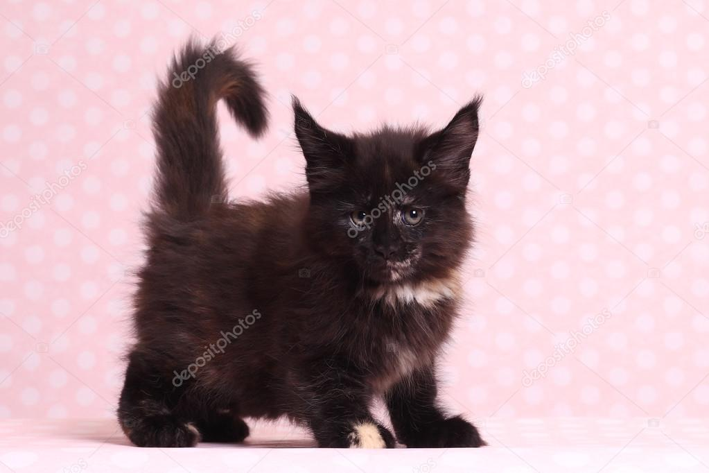 Cute Maine Coon kitten