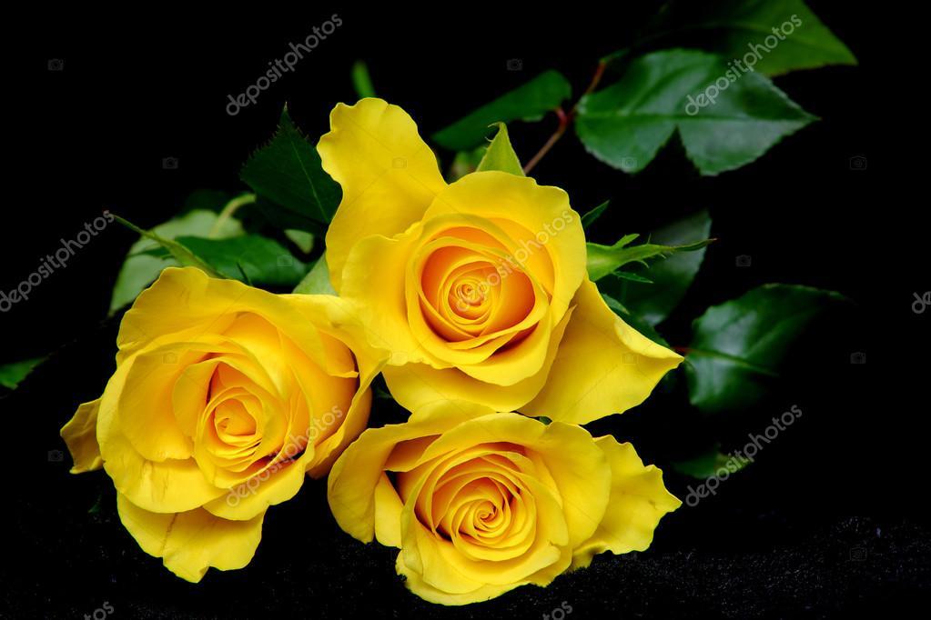 Fotos Rosas Amarillas Tres Rosas Amarillas En Terciopelo Negro