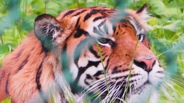 Detailní záběr na hlavu sumatranského tygra, tygra v safari parku odpočívajícího v trávě