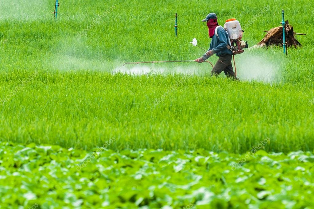 Farmer spraying pesticide on Terrace rice fields