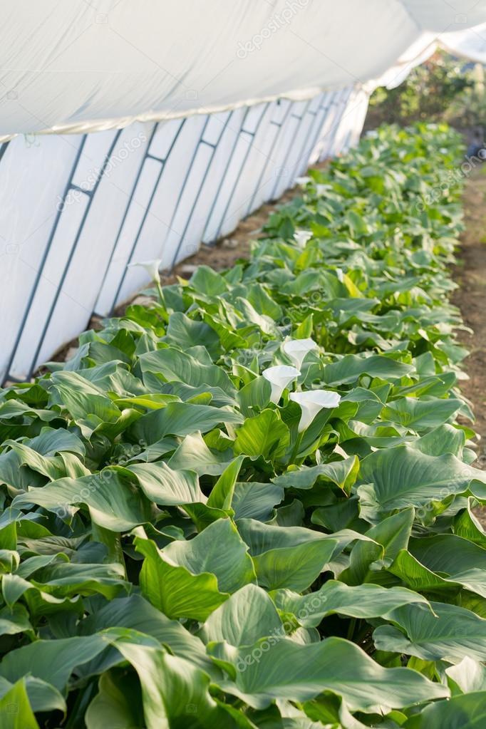 Produktion von weißen Calla Blumen im Gewächshaus — Stockfoto ...