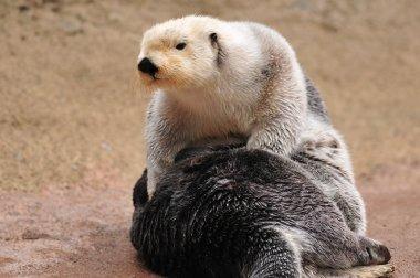 Otter drying itself in sun light