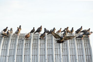pigeons on the roof causing problems