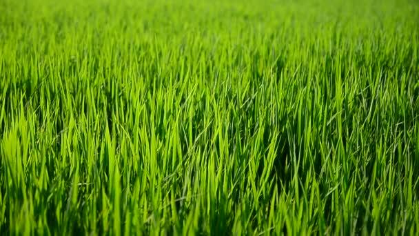Dolly-Schieberegler in Großaufnahme und Vergrößerung in grünem Reis in Bauernhof Thailand