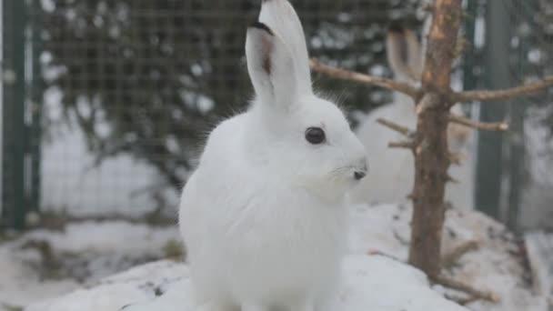 Nahaufnahme eines weißen Wildhasen mit einem Hasen dahinter. Hintergrund des weißen Schnees