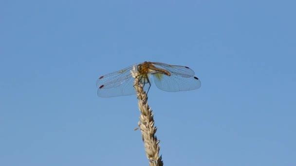 A dragonfly, ül a fűben száron ellen egy tó.