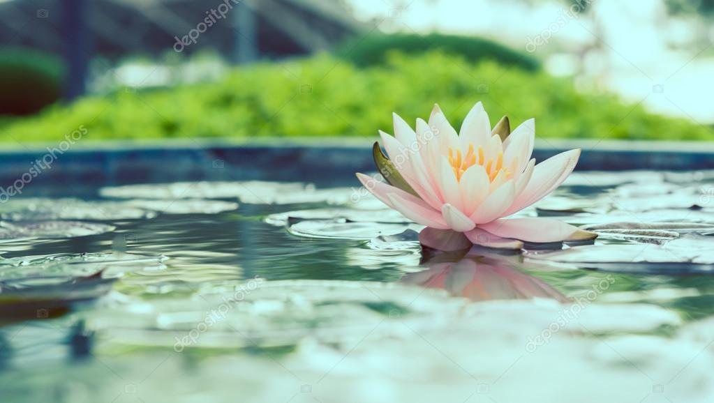 Beautiful pink lotus flower in pond vintage photo filtered style
