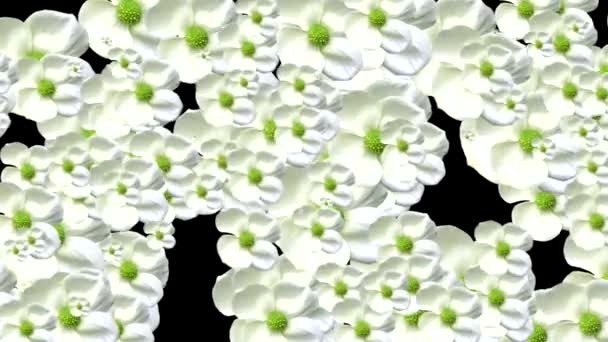 White flowers transition. Alpha chanel included