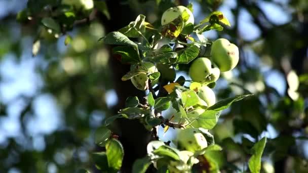 Eco zöld kert apple természeti környezetben.