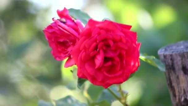 Červené růže, pohybující se ve větru