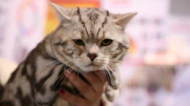 Facet I Dziewczyna Trzymając Się Za Ręce Na Scottish Fold Kotów I