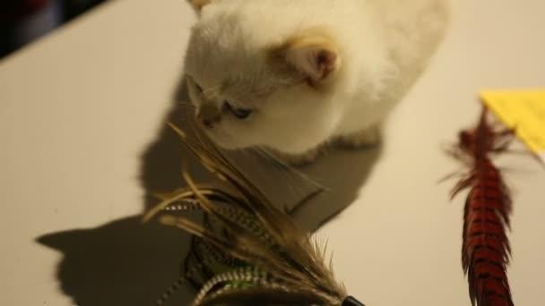 Evde Beslenen Hayvan Oyuncak Kedi Showda Merakla Etrafa Koklama