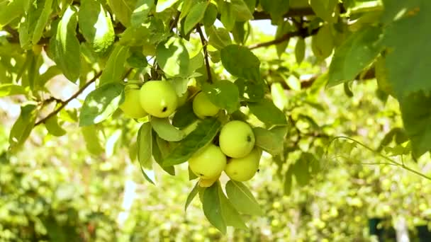 Apple tree with green apples close-up in the garden or greenhouse on a Sunny day. Moistening of plants and vegetables in a home farm