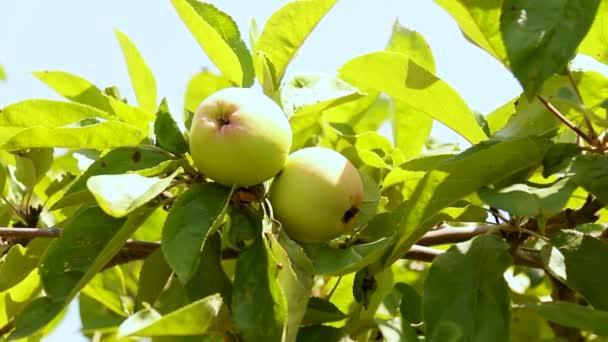 Jabloň se zelenými jablky zblízka na zahradě nebo ve skleníku za slunečného dne. zvlhčování rostlin a zeleniny na domácí farmě