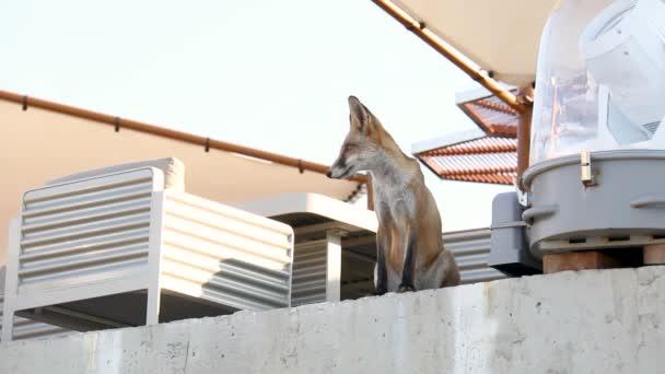 wild fox walks near the coastline with sun loungers