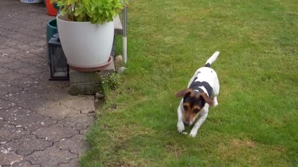 cute playful dog Jack Russell Terrier on a green lawn