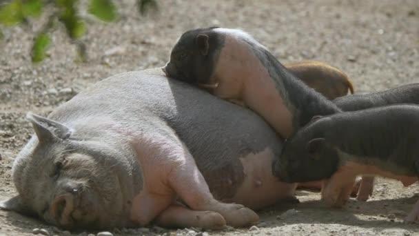 Kleine rosa und schwarze Ferkel trinken Milch aus der Brust eines Mutterschweins