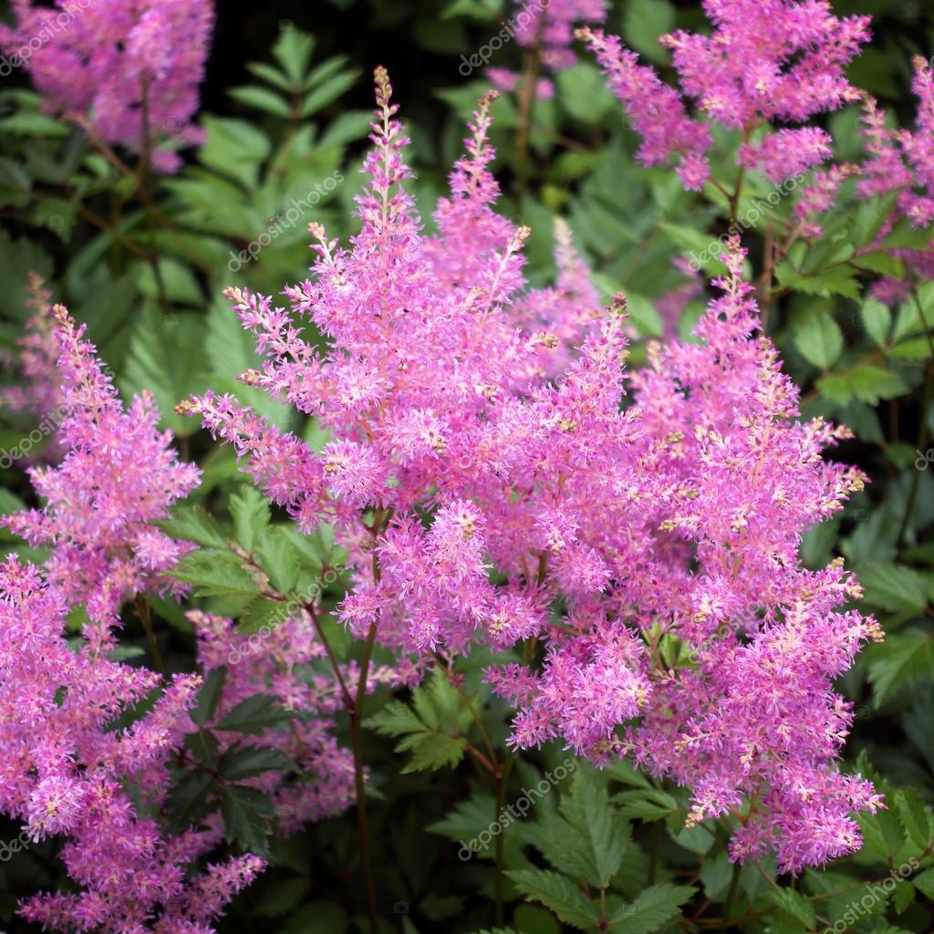 astilbe rose (valerie) en pleine floraison — photographie phil_bird