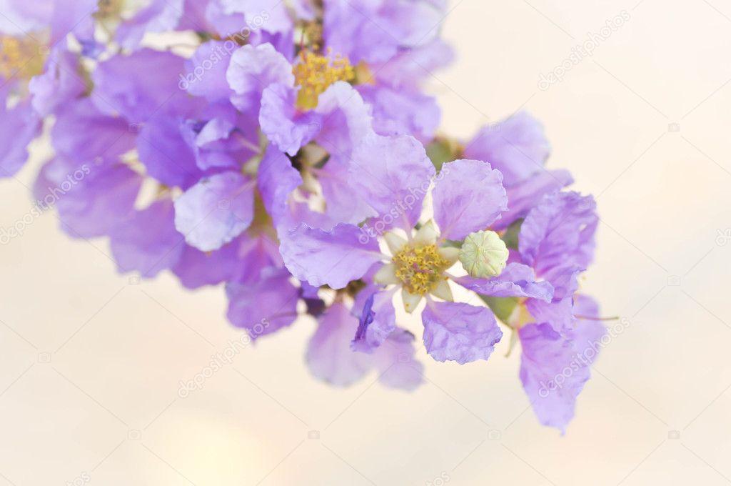 Lagerstroemia calyculata Kurz flowers