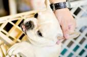 wein und Wein Französisch Bulldogge