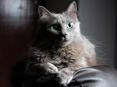 Cute Grey domestic cat posing for the camera on a dark brown sofa