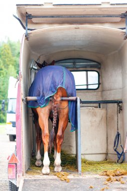 Horse standing in trailer. View from backside.