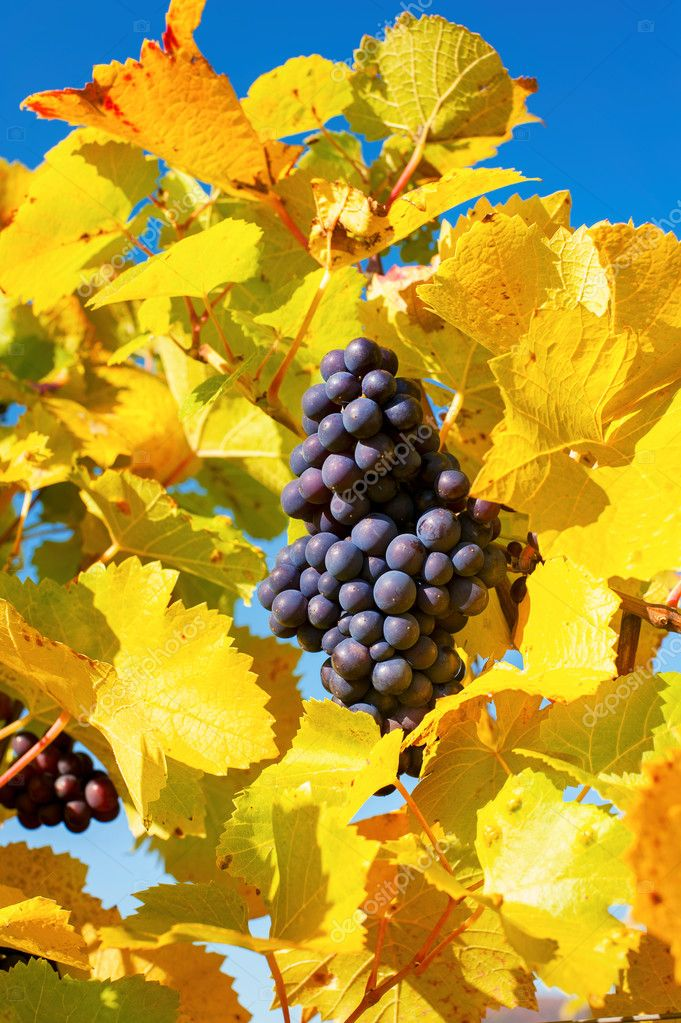Autumn blue ripe grape hanging on grapevine on blue sky backgrou