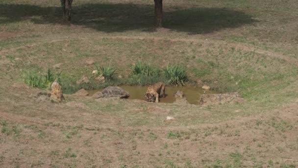 Két tigris játszik a tó Cabarceno Természeti Park Cantabria, Spanyolország.
