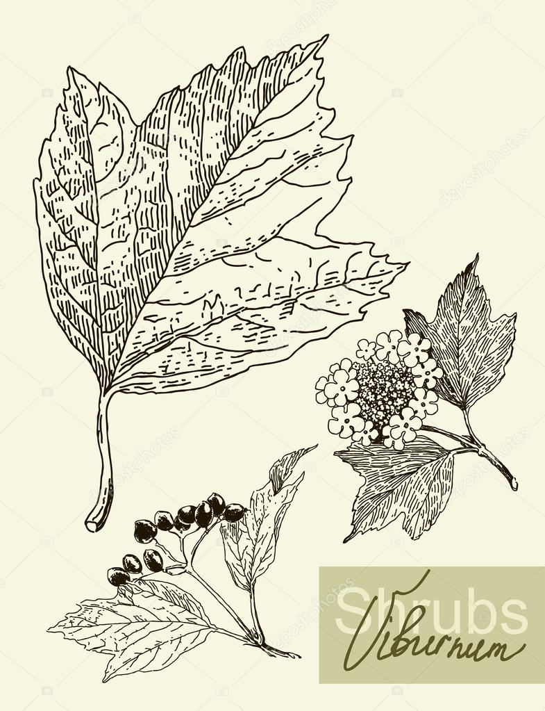 Vector leaves, flowers and fruits of the viburnum.