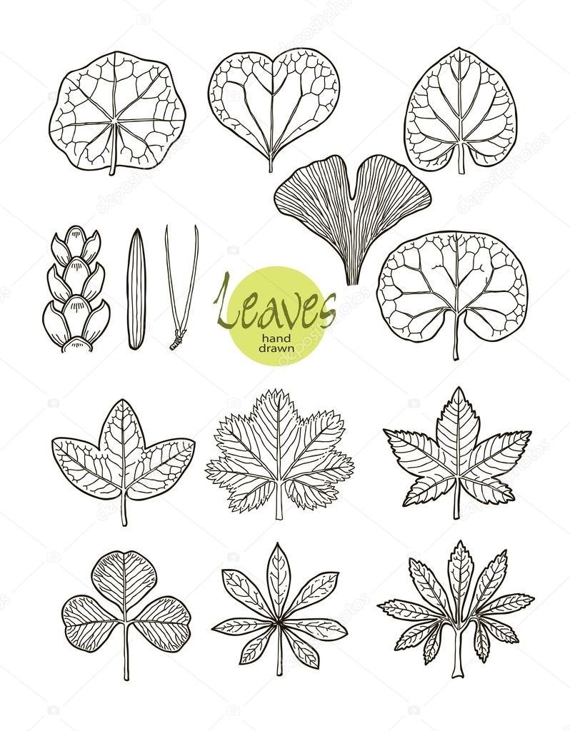 Vector collection of varieties of leaf shape.