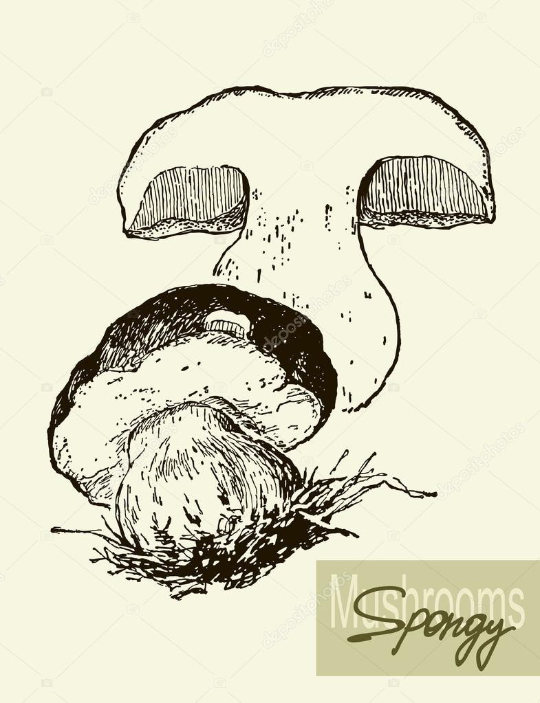 Set of linear drawing mushrooms, vintage vector illustration. Spongy mushrooms