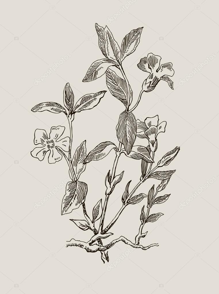 Periwinkle or Vinca minor, vintage engraved illustration. Image for your design.