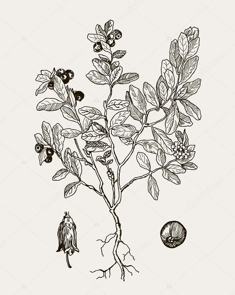 More realistic botanical illustration cranberries. Graphic illustration for your design.  Vintage engraved illustration.