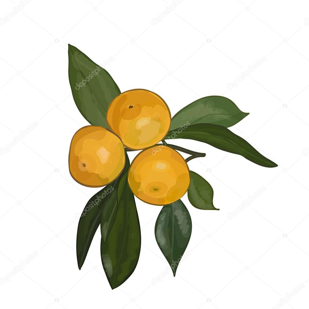 Vector watercolor illustration of branch with mandarins on a white background. Eps 10.