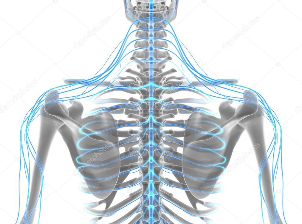 sistema nervioso hombre de Ilustración 3D — Foto de stock © yodiyim ...