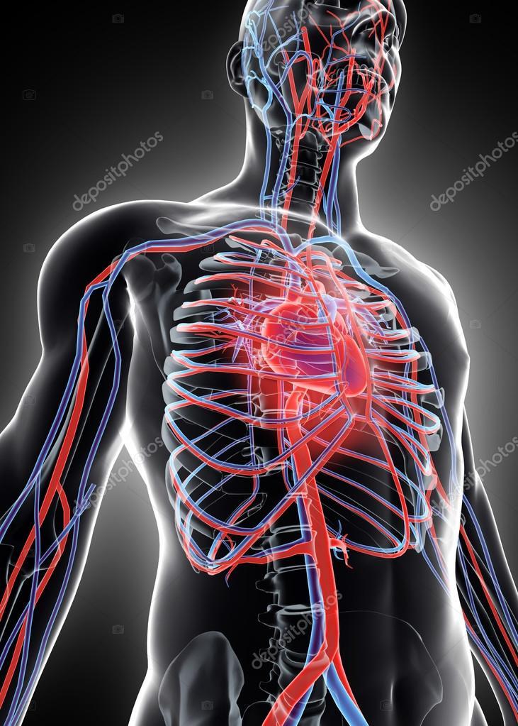 3D Abbildung des menschlichen Inneren System - Herz-Kreislauf-System ...