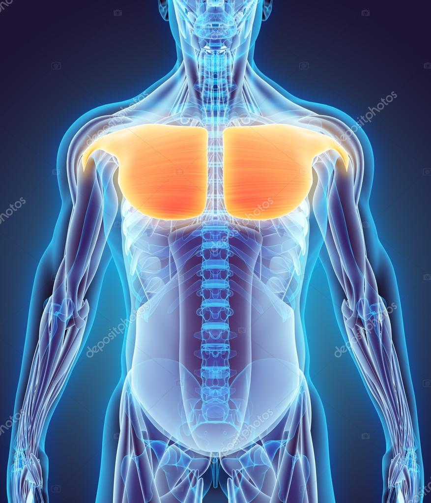 3D illustratie van de Pectoralis Major — Stockfoto © yodiyim #115871044