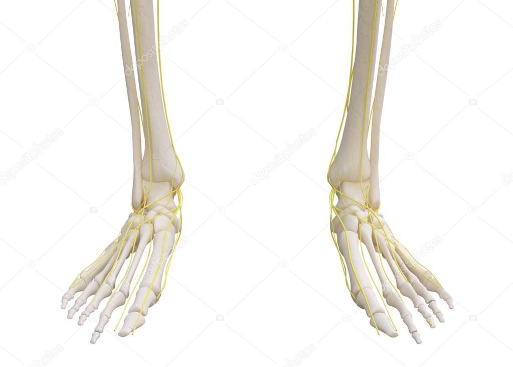 Esqueleto de pies con sistema nervioso — Fotos de Stock © yodiyim ...